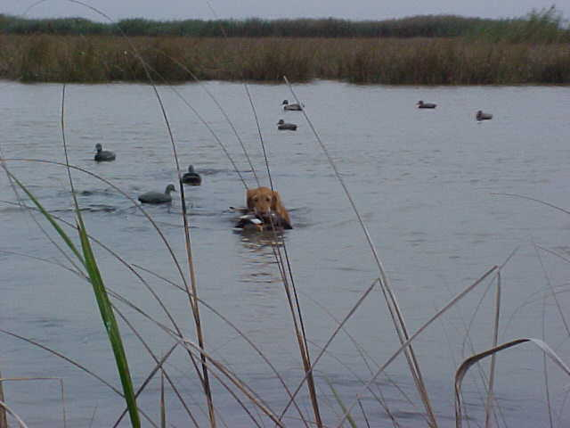 Annie retrieving a nice big Gadwall (Gray duck).
