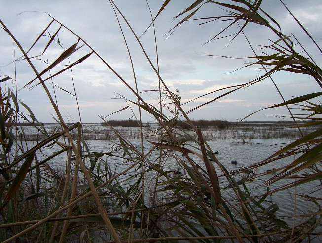 High water in the marsh. No canals, just canes and the tops of the marsh grass - and LOTS of ducks.