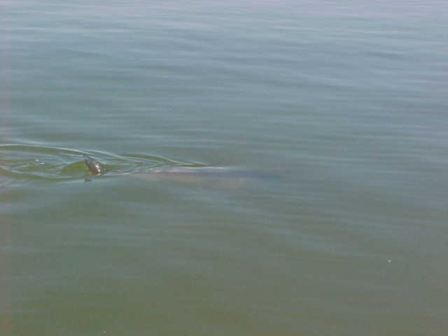 The tail of a huge red drum.  A 30 lb. redfish waiting to be caught.