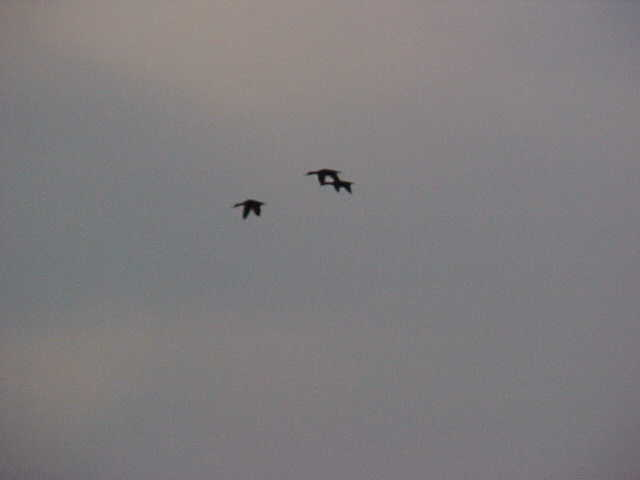 Three big Mottled ducks flying overhead.