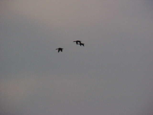 Three big Mottled ducks flying overhead.